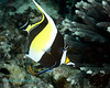 Moorish Idol 2