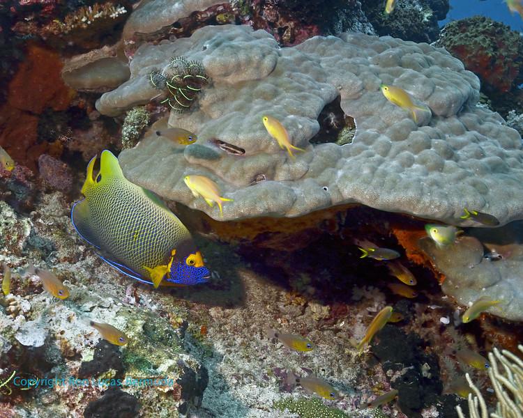 Yellow-Mask Angelfish 4