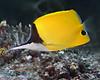 Longnose Butterflyfish 2