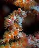Pigmy Seahorse 2