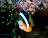 Clarke's Anemonefish 3