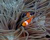False Clown Anemonefish 1