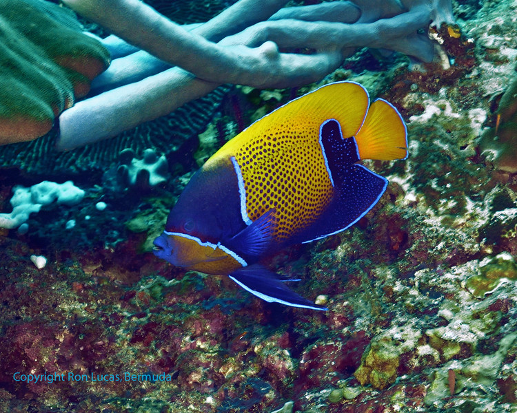 Blue-Girdled Angelfish
