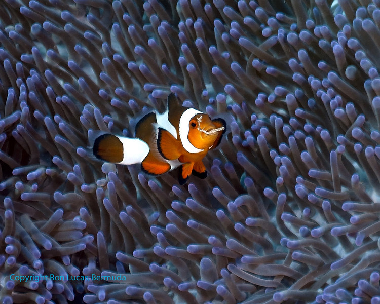 False Clown Anemonefish & Weed