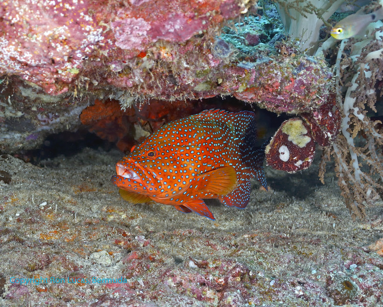 Coral Grouper 7