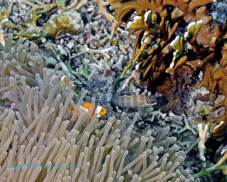 False Clown Anemonefish Scene 1