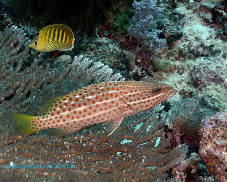 Slender Grouper and Spot-Banded Butterflyfish