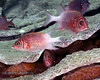 Tailspot Squirrelfish 3