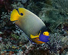 Yellow-Mask Angelfish 2