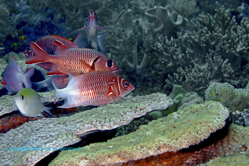 Tailspot Squirrelfish and Big Scale Soldierfish 1