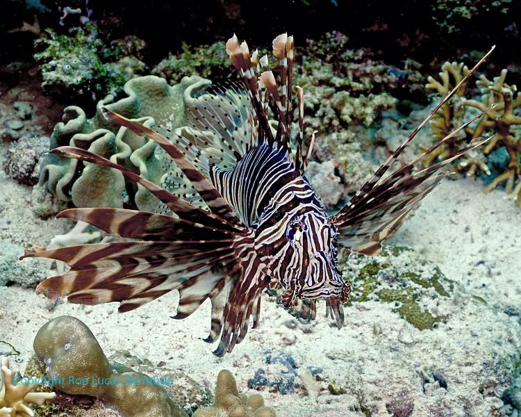 Common Lionfish 4