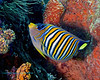 Regal Angelfish 3