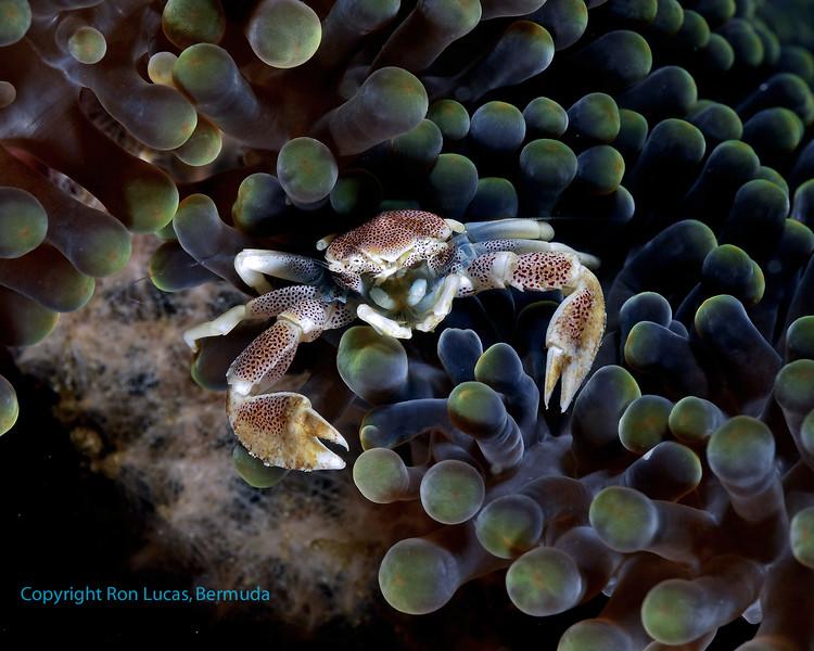 Porcelain Crab 4