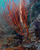 Trumpetfish in Coral