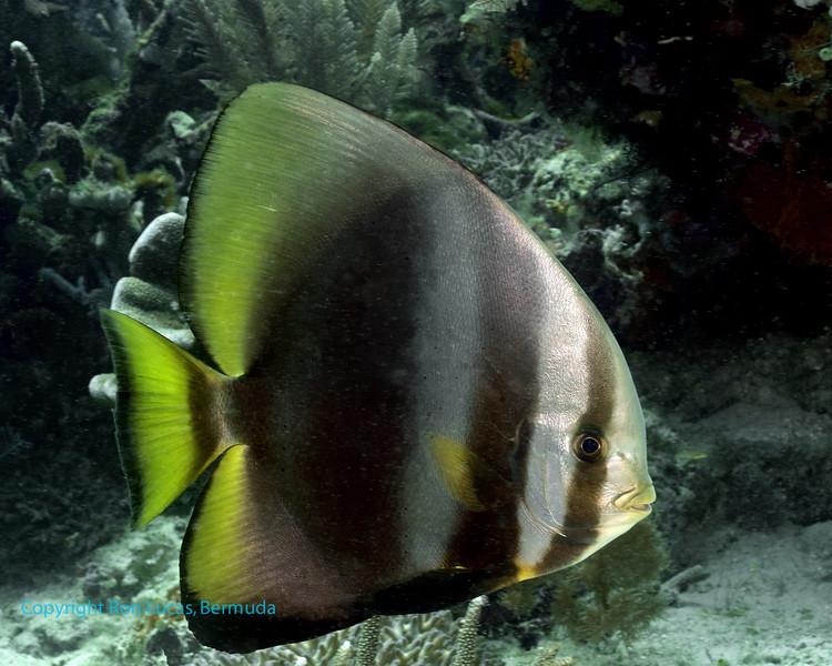 Golden Spadefish 3