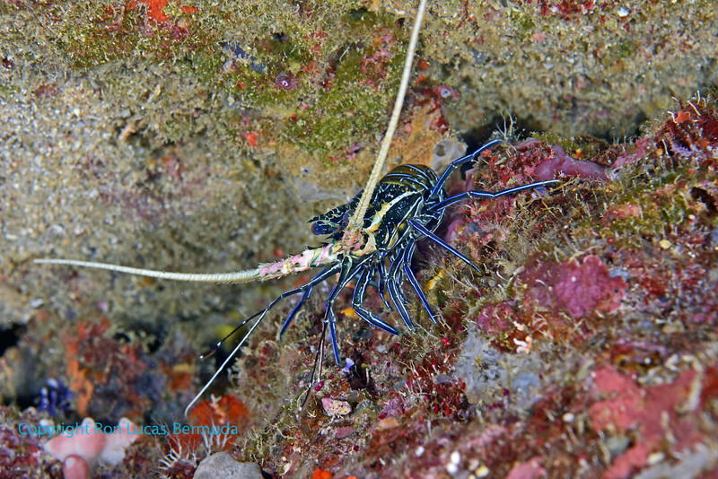 Painted Spiny Lobster 2