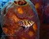 Threadfin Hawkfish 2