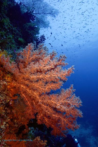 Soft Coral Scene 2