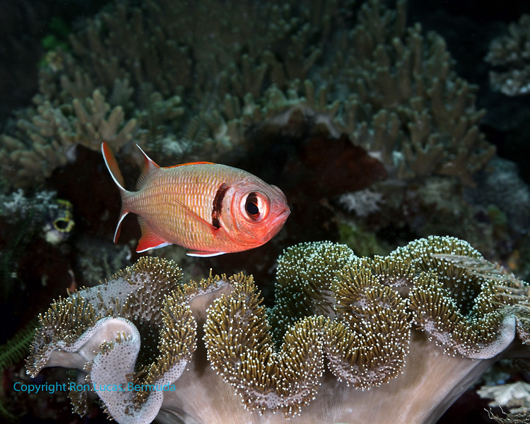 Soldierfish 2