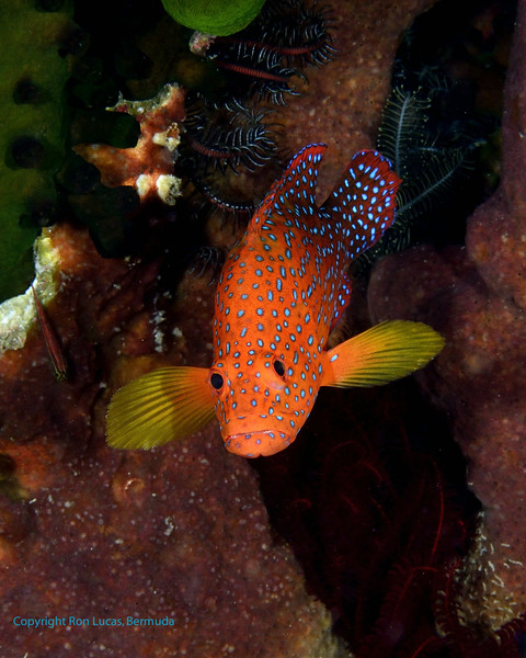 Coral Grouper 3