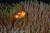 False Clown Anemonefish 3