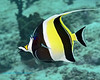 Moorish Idol 3