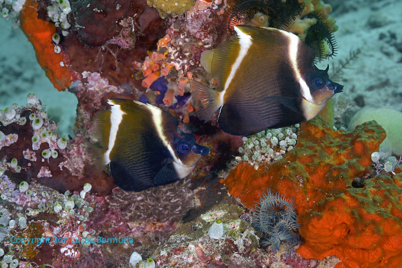 Humphead Bannerfish 1