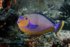 Bignose Unicornfish Dark Phase