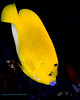 Three-Spot Angelfish 1