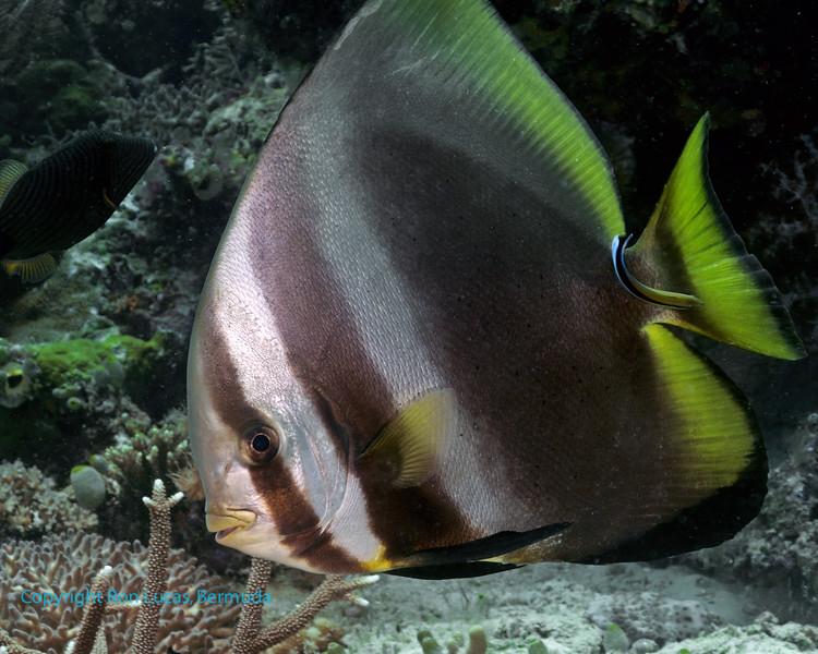 Golden Spadefish 2