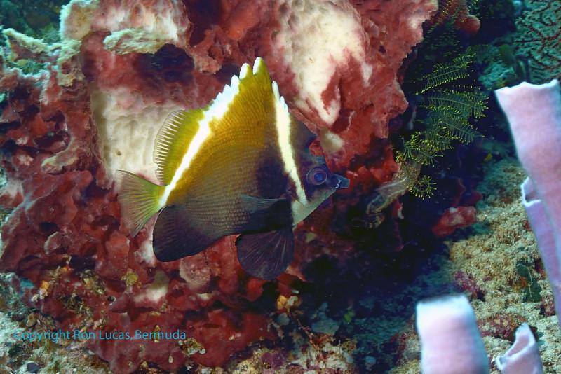 Humphead Bannerfish 3