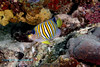 Regal Angelfish 1