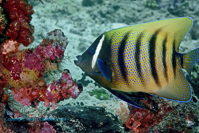 Six Banded Angelfish 2