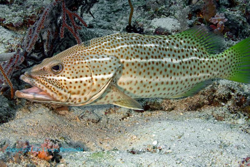 Slender Grouper 1