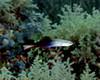 Twotone Dartfish 2