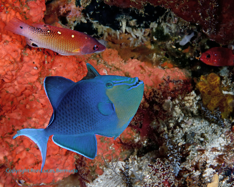 Red-Toothed Triggerfish 1