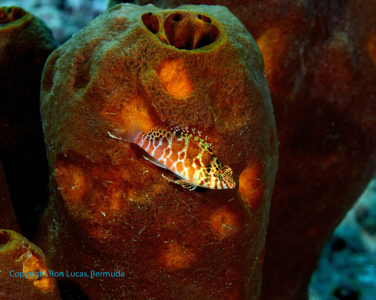 Thread fin Hawkfish 1