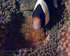 Anemonefish with Eggs