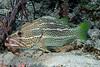 Slender Grouper 2