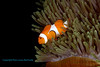 False Clown Anemonefish 6