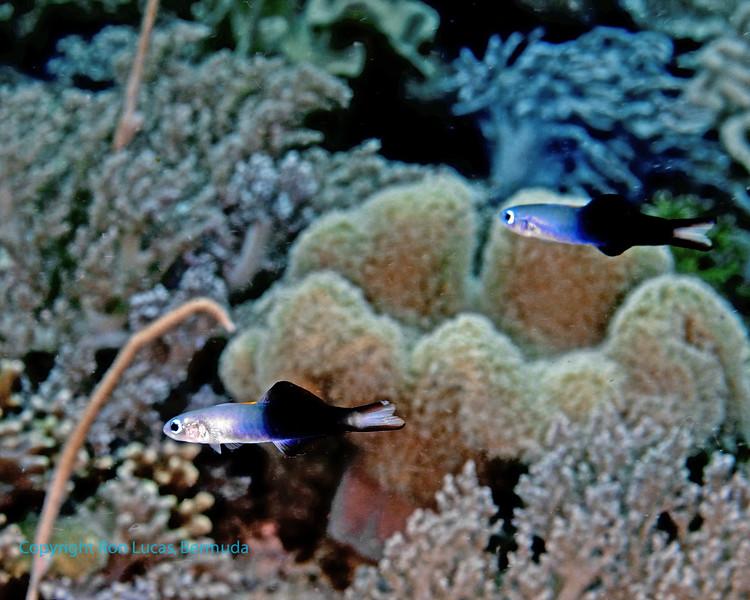 Twotone Dartfish 1