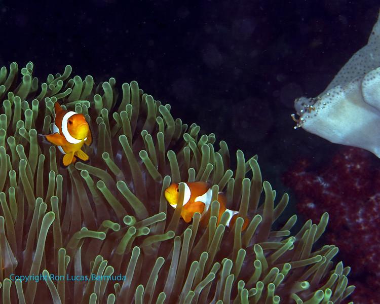 False Clown Anemonefish 5