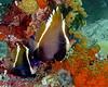 Humphead Bannerfish 2