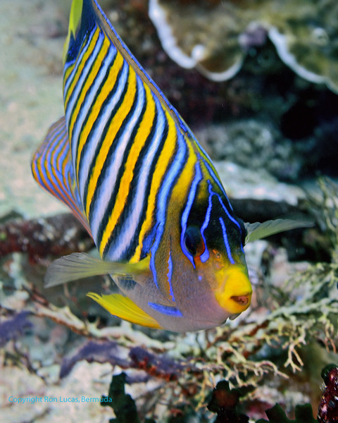 Regal Angelfish 2