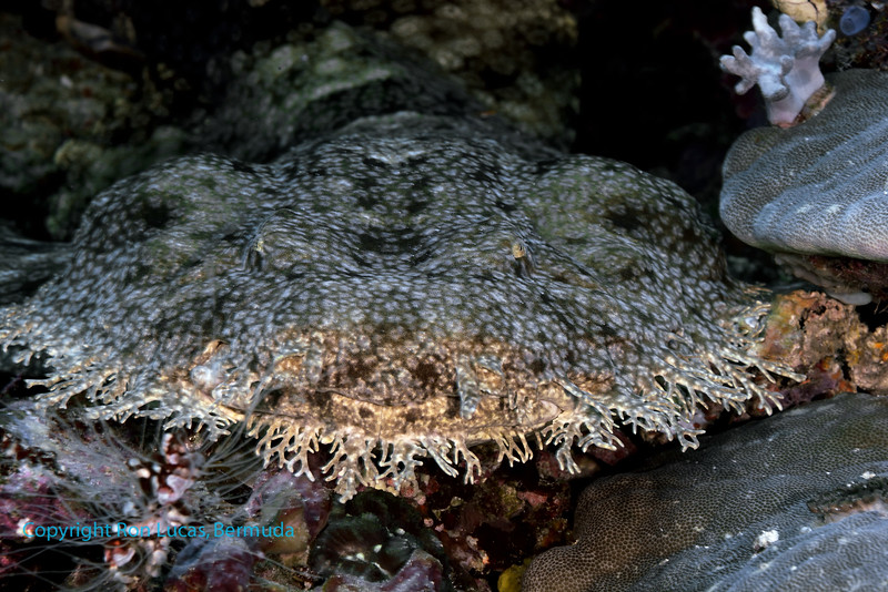 Tassled Wobbegong Shark 3