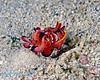 Flamboyant Cuttlefish 2