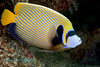 Emperor Angelfish 1