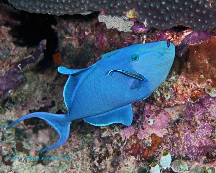 Red-Toothed Triggerfish 4