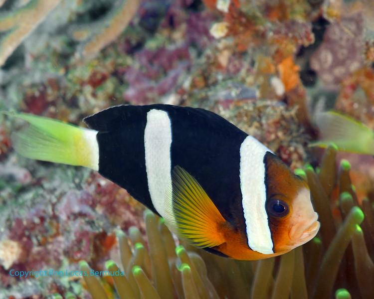 Clarke's Anemonefish 2