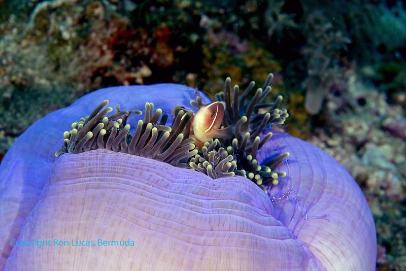 Pink Anemonefish & Shrimps 2